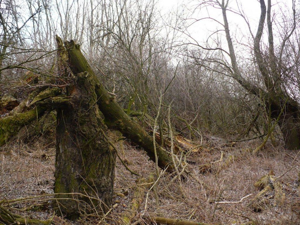 Dlho neorezaná hlavová vŕba, zlomená pod ťarchou konárov