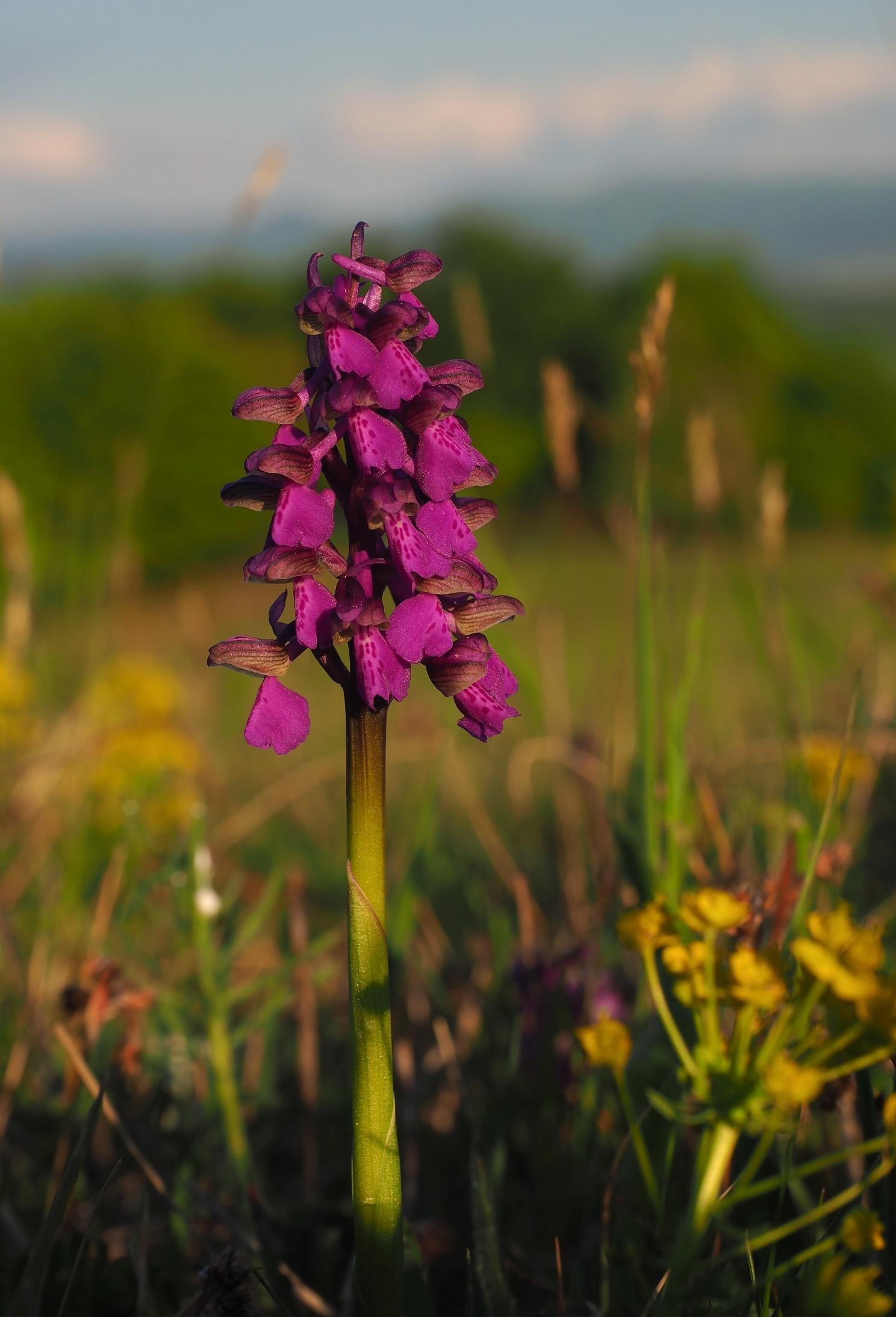 Orchidea na veľkom vrchu